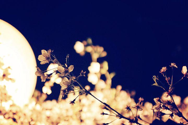 #light #night #cherrybloom #dcnightsky