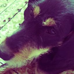 chipsi best dog glücklich love