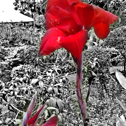 nature flower red photography blackandwhitehdr