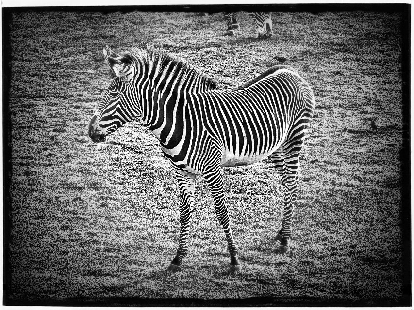 Taken in Zoo...for the #stripes :-D