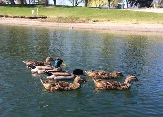 interesting ducks animals nature spring
