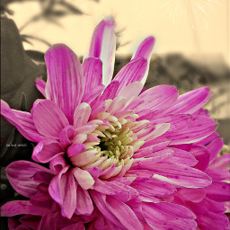 flower sepia pink love happy