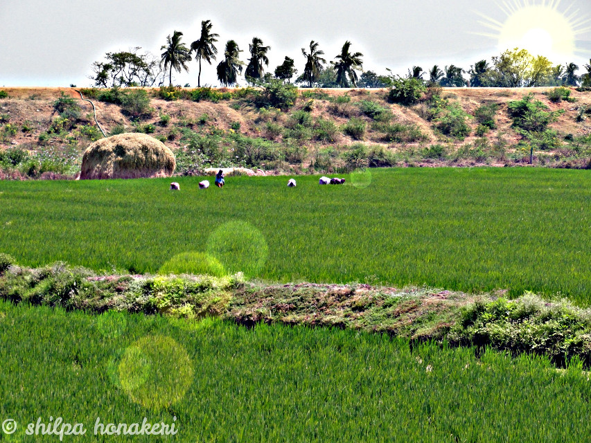 Farmers in paddy farm.  #photography #nature #lensflare #dailyinspirations  #paddy #farm #green #colorful #color #trees #sky #people #landscape #captured #moment