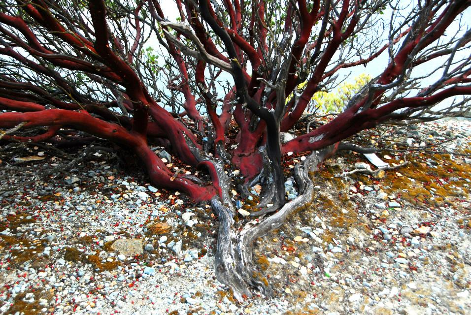 Manzanita  .. #trees  #nature #photography