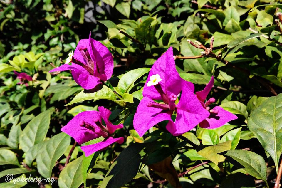 #colorful #flower #nature #photography | The Bougainvilleas Part 2 | Berjaya Times Square, Kuala Lumpur