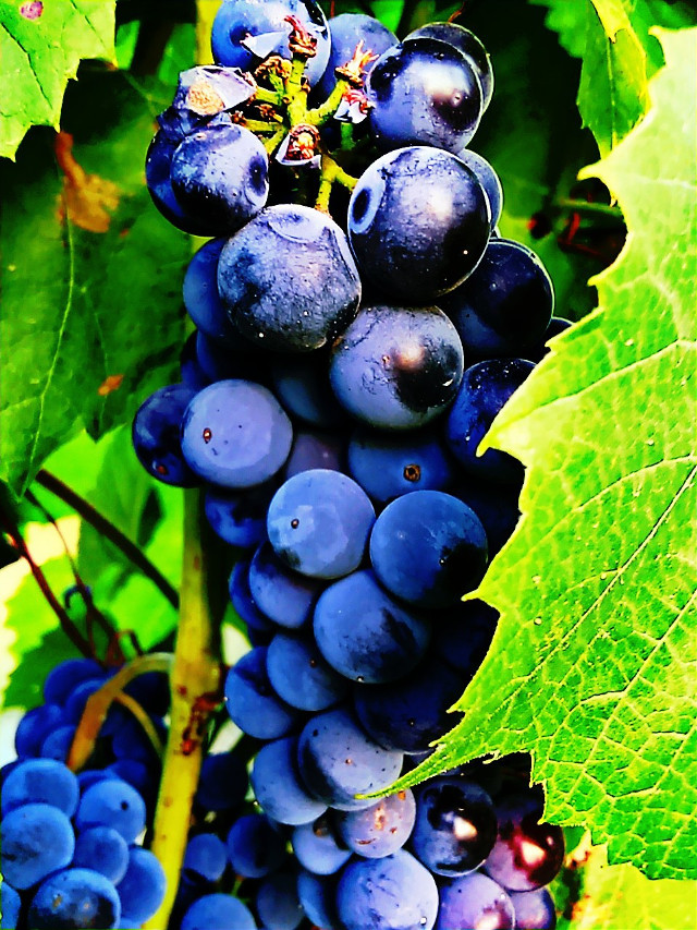 My garden, my fruits :-)  #sweet   #food #fruit  #colorful  #grapes