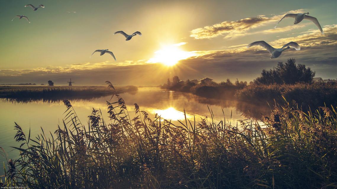 Rise and Shine :) #sunrise #swan #windmill #netherlands #landscape #nature