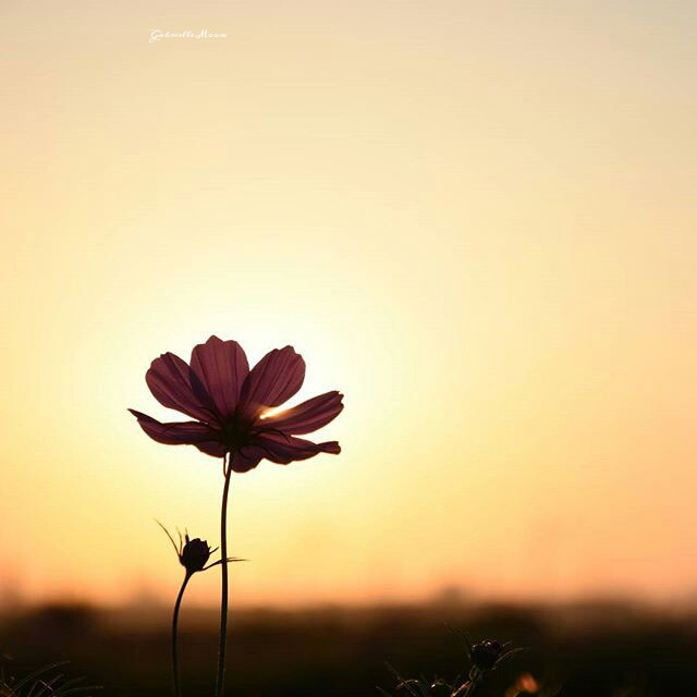 #Silhouette #Flowers #pink #photography